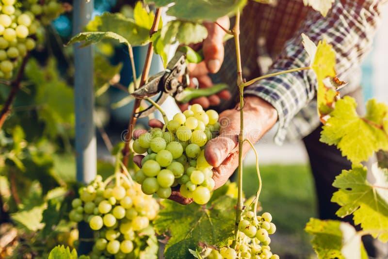 Agriculteur recueillant la culture des raisins à la ferme écologique Raisins de coupe d'homme supérieur avec le pruner photos stock