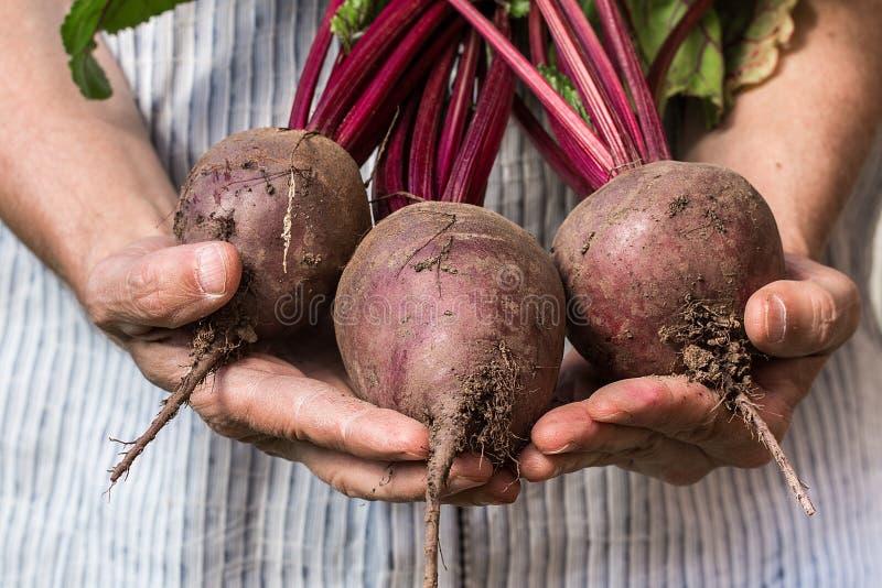 Agriculteur tenant la betterave fraîche Récolte de légumes image libre de droits