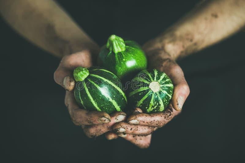 Agriculteur tenant les courgettes rondes vertes saisonnières fraîches dans des ses mains image stock