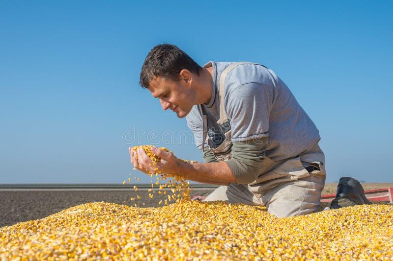 Agriculteur tenant les grains mûrs images stock