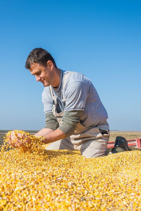 Agriculteur tenant les grains mûrs photo libre de droits