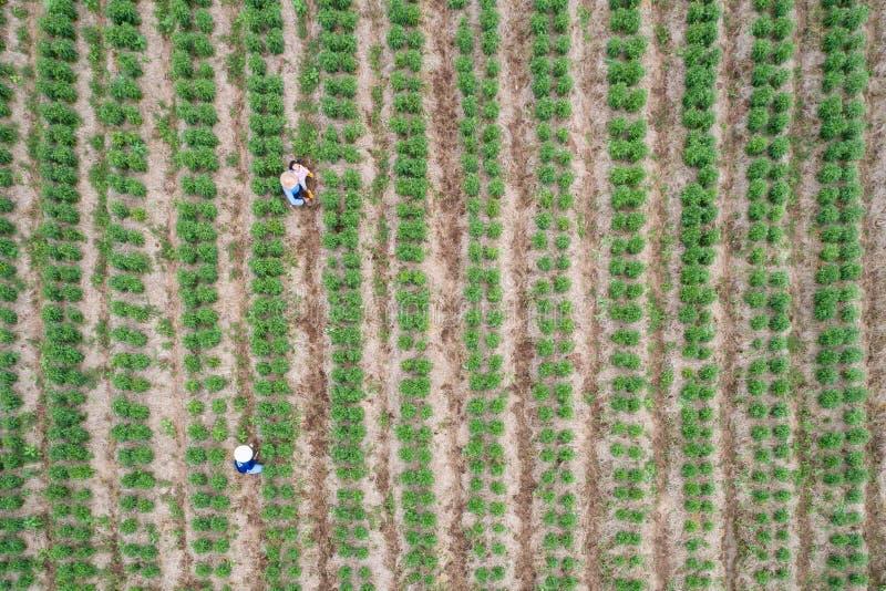 Agriculteur thaïlandais travaillant dans le domaine vert de l'usine de piments photo stock