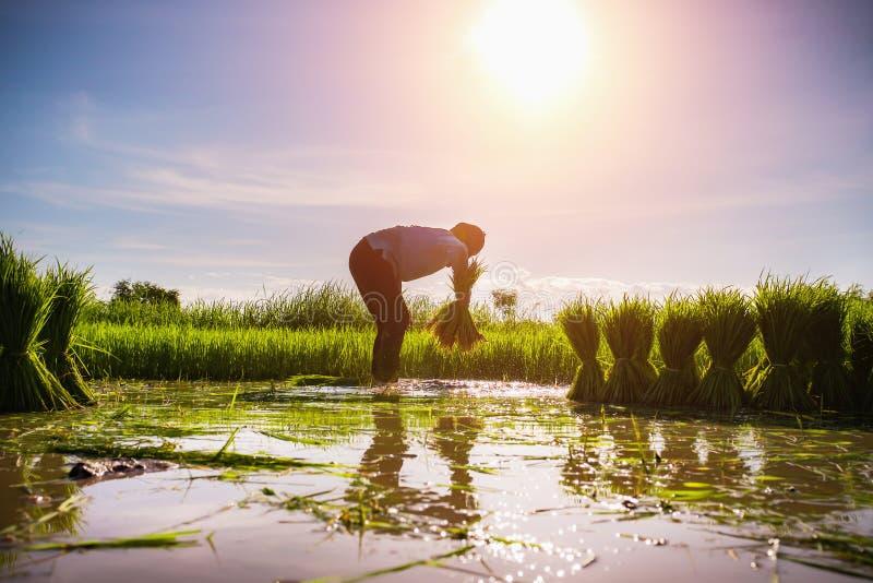 agriculteur travaillant au gisement de riz avec le soleil photo stock