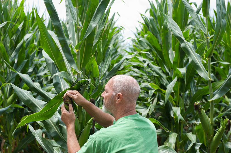 Agriculteur vérifiant la culture de maïs photographie stock