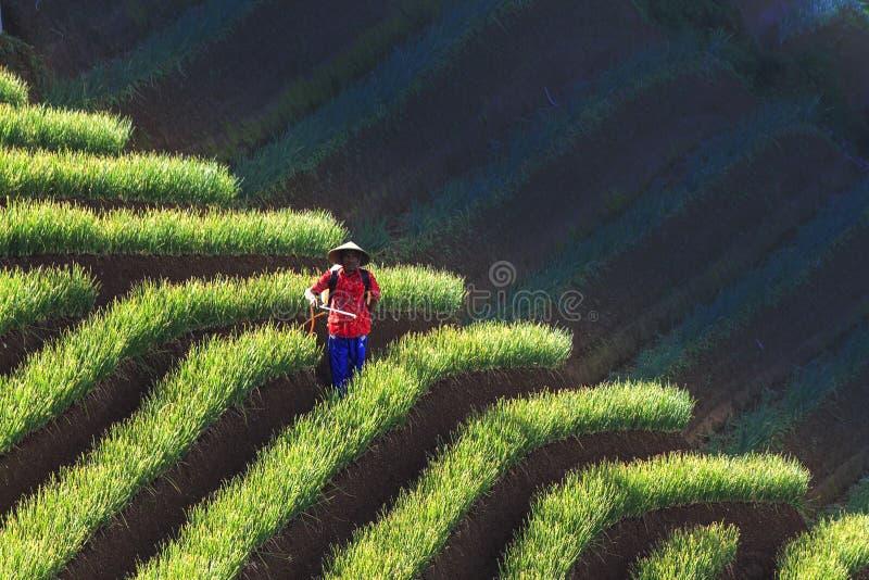 Agriculteurs d'oignon de majalengka d'argapura images libres de droits