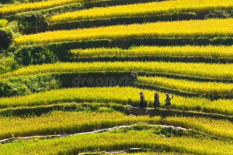 Agriculteurs ethniques allant achever pour mûrir des terrasses de riz image stock