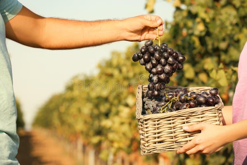 Agriculteurs mettant les raisins juteux mûrs frais photographie stock