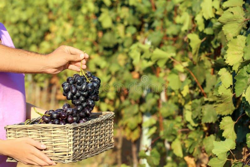 Agriculteurs mettant les raisins juteux mûrs frais dans le panier dans le vignoble photos stock