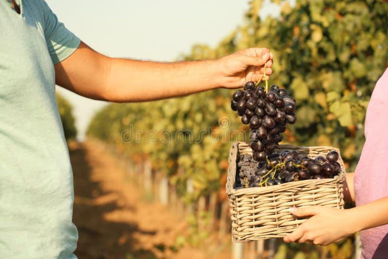 Agriculteurs mettant les raisins juteux mûrs frais dans le panier dans le vignoble image stock