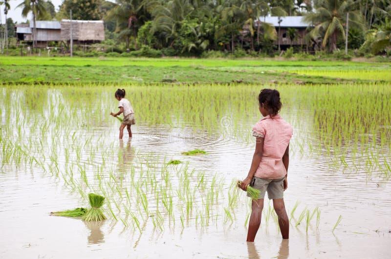 Agriculteurs moissonnant le riz dans les Laotiens du sud photos stock