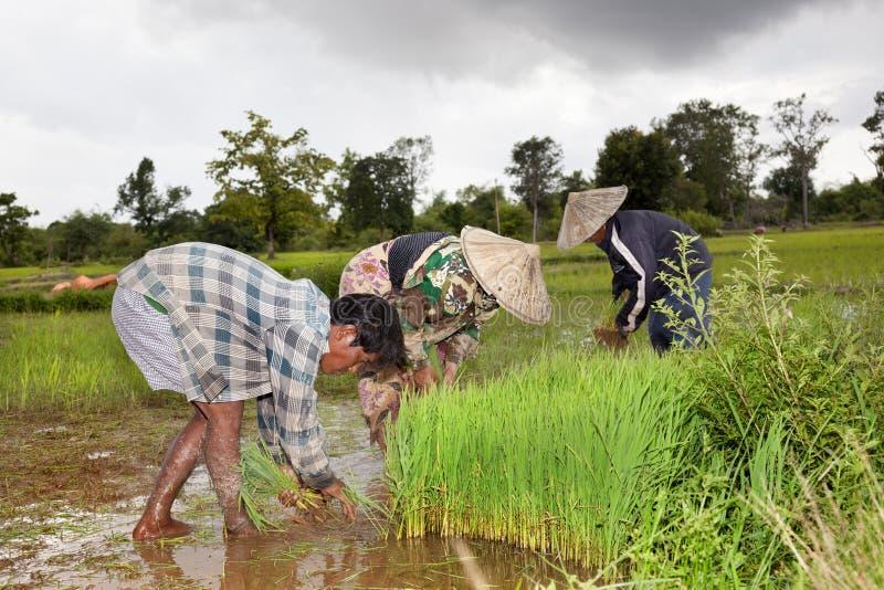 Agriculteurs moissonnant le riz dans les sud de Don Khon Laos image libre de droits