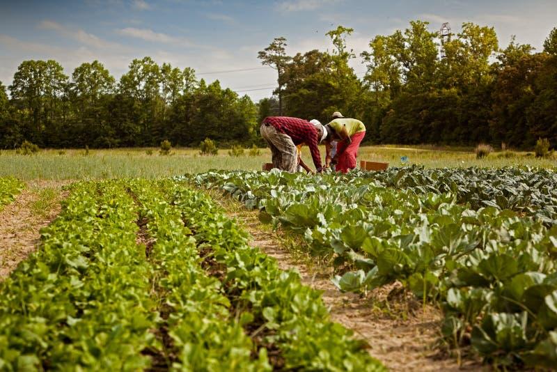 Agriculteurs organiques photo libre de droits