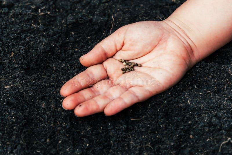 Agriculteurs pour l'ensemencement de cannabis de graine images stock