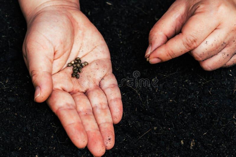 Agriculteurs pour l'ensemencement de cannabis de graine photo stock