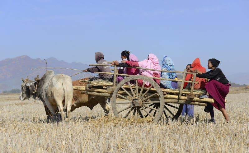 Agriculteurs sur le chariot de boeuf dans la rizière photos stock