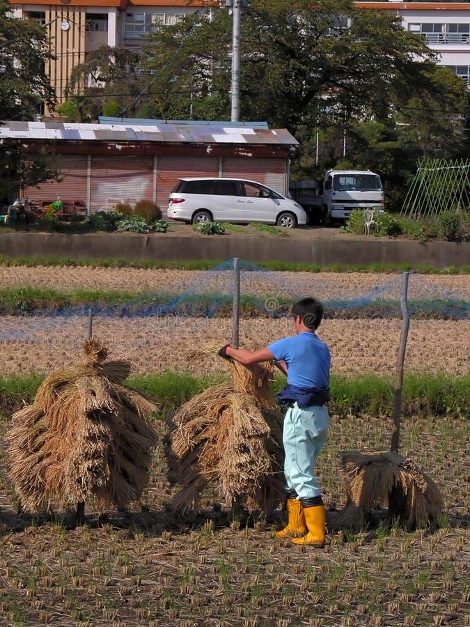 Agricultor em um campo do arroz fotografia de stock