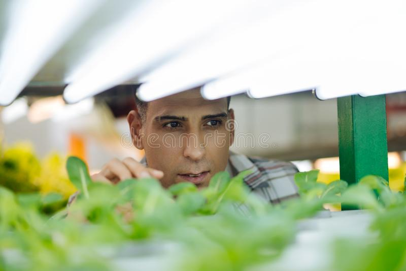 Agricultor maduro de olhos escuros que verifica a alface na estufa imagem de stock royalty free