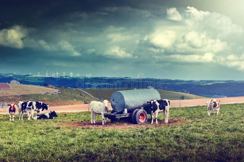 Agricultral-Landschaft mit Kuhherde stockfoto