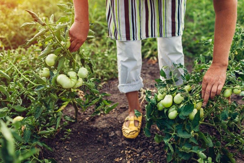 Agricultrice supérieure vérifiant les tomates vertes s'élevant à la ferme cultivant, concept de jardinage photo stock