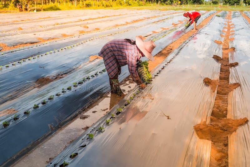 agricultuirst植物西瓜 图库摄影