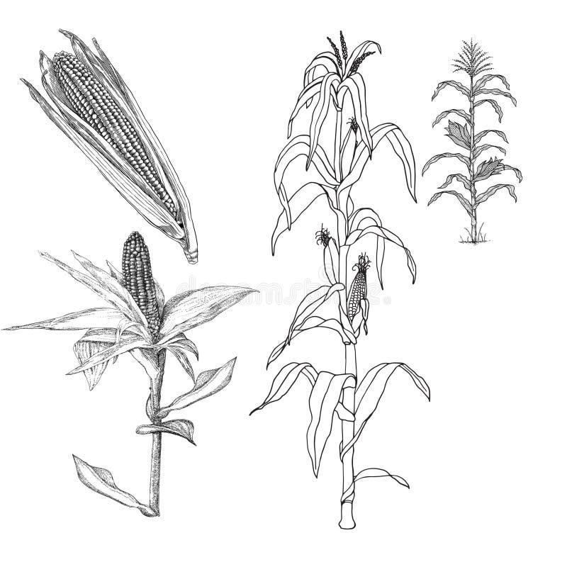 Agricultura - amadurecendo a borla de uma planta de milho doce meados de do crescimento ilustração do vetor