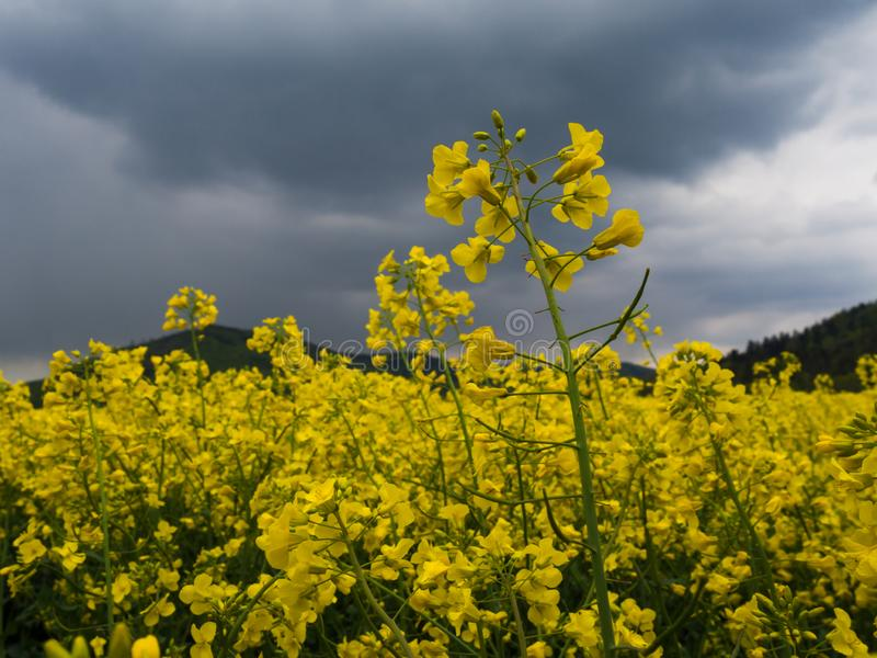 Agricultura amarilla del biodiesel del campo de la violación que planta el rapeoil rural de la cosecha del paisaje de la rabina fotografía de archivo
