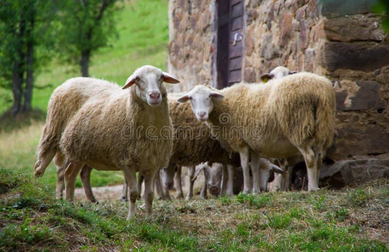 Agricultura, animal, fondo, cierre, campo, lindo, nacional, cara, granja, cultivando, campo, frente, piel, mirada, hierba, verde, fotos de archivo