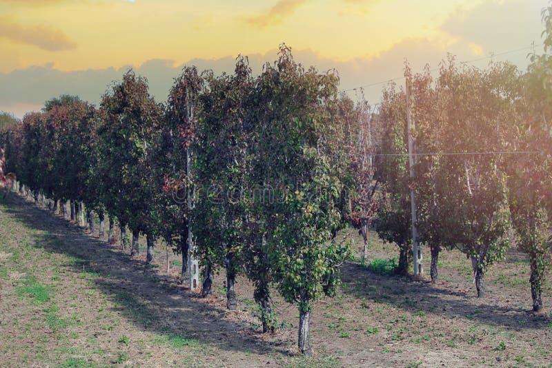 agricultura As fileiras de árvores de pera crescem foto de stock