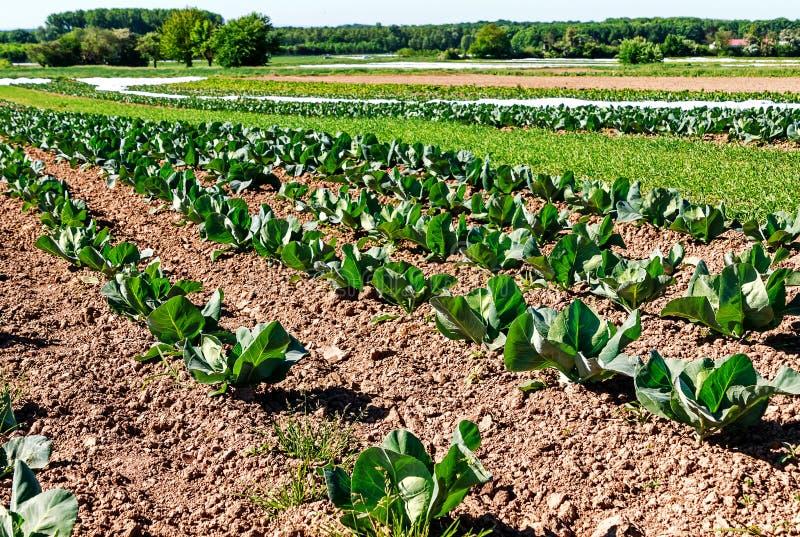 Agricultura biológica en Alemania - cultivo de la col fotos de archivo libres de regalías