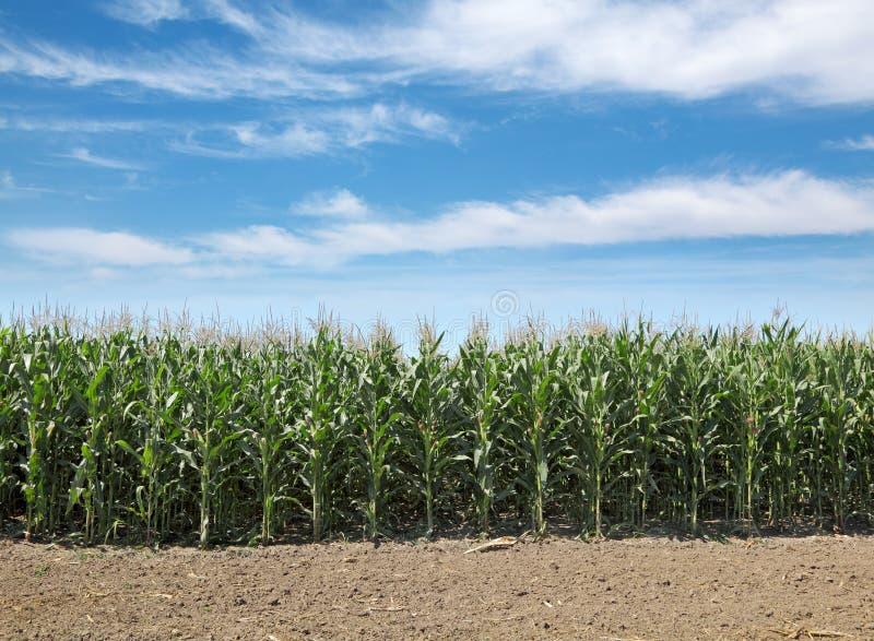 Agricultura, campo de maíz fotografía de archivo libre de regalías