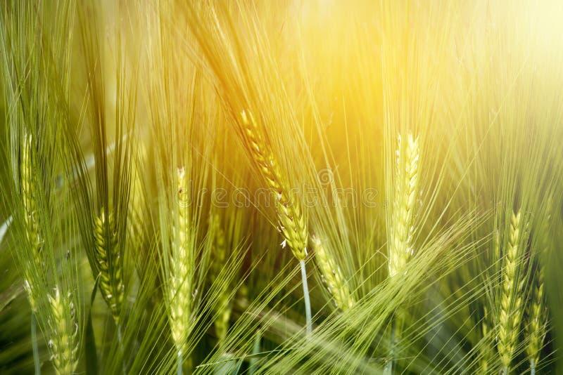 Agricultura: Campo de ma?z verde fresco en un d?a soleado, primavera imágenes de archivo libres de regalías