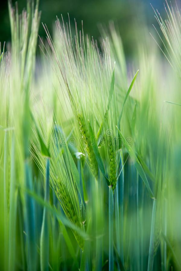 Agricultura: Campo de ma?z verde fresco en un d?a soleado, primavera fotografía de archivo