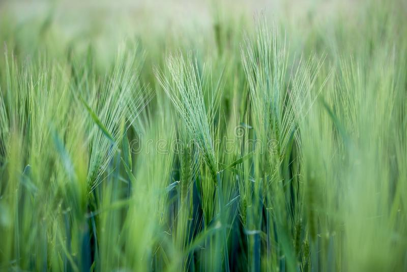 Agricultura: Campo de ma?z verde fresco en un d?a soleado, primavera imagenes de archivo