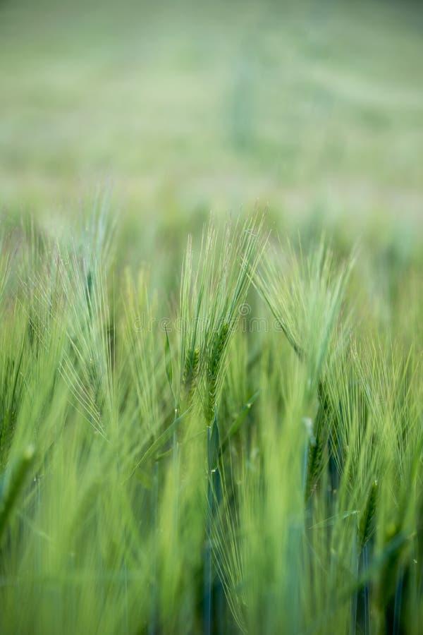 Agricultura: Campo de ma?z verde fresco en un d?a soleado, primavera fotos de archivo