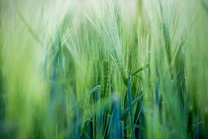 Agricultura: Campo de ma?z verde fresco en un d?a soleado, primavera fotos de archivo libres de regalías