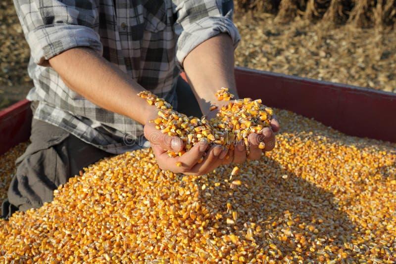 Agricultura, colheita de milho, fazendeiro e colheita foto de stock royalty free