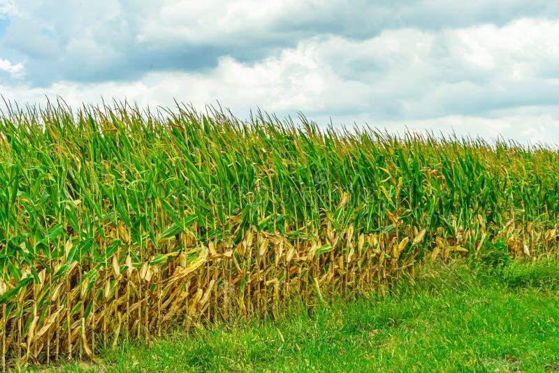 Agricultura de campo cornfield de Amish en Lancaster, PA EE.UU. imágenes de archivo libres de regalías