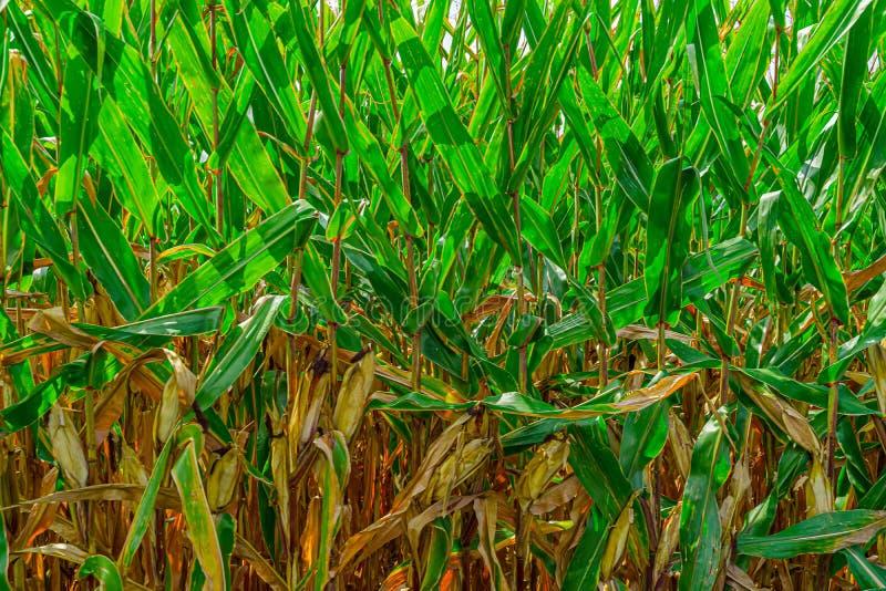 Agricultura de campo cornfield de Amish en Lancaster, PA EE.UU. imagen de archivo libre de regalías