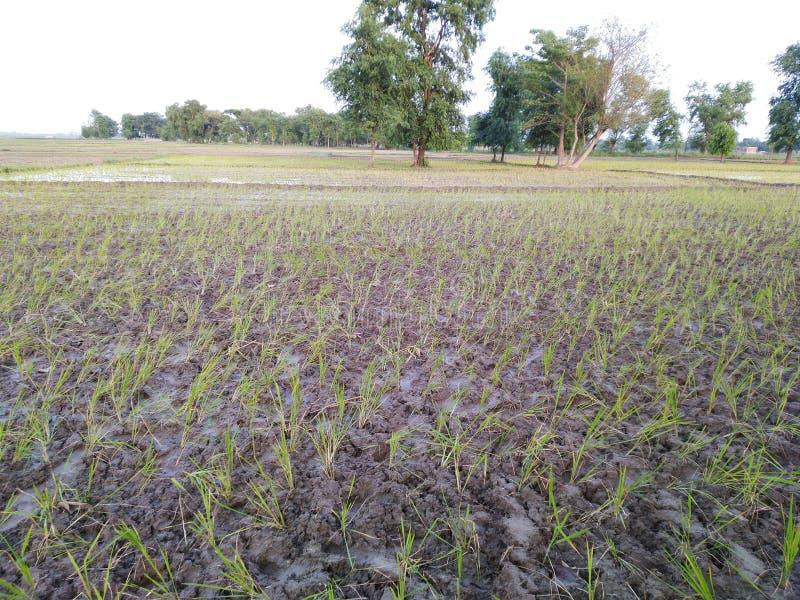 Agricultura de Dhaan que cultiva los árboles lluviosos la India de las plantas de arroz de la cosecha del agua de inundación del  imagen de archivo libre de regalías