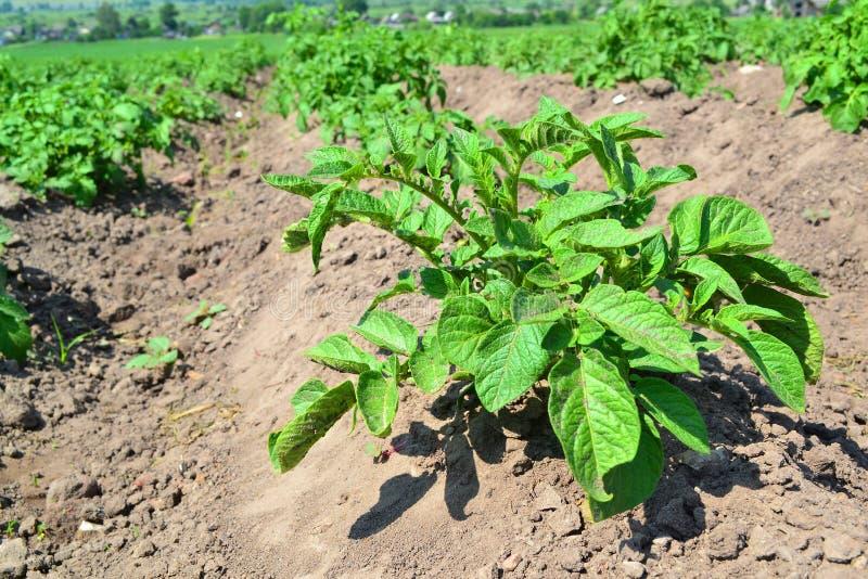 Agricultura del campo de la patata Agricultura elegante Paisaje agr?cola Patata natural Naturaleza del verano en Bielorrusia Gran foto de archivo libre de regalías