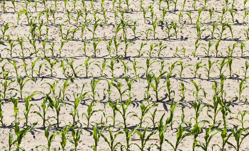 Agricultura del maíz fotografía de archivo