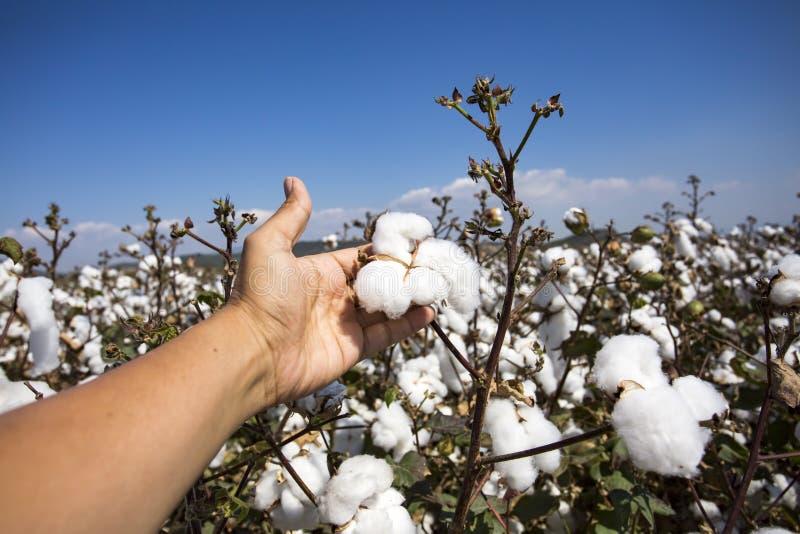 Agricultura do campo do algodão fotos de stock royalty free