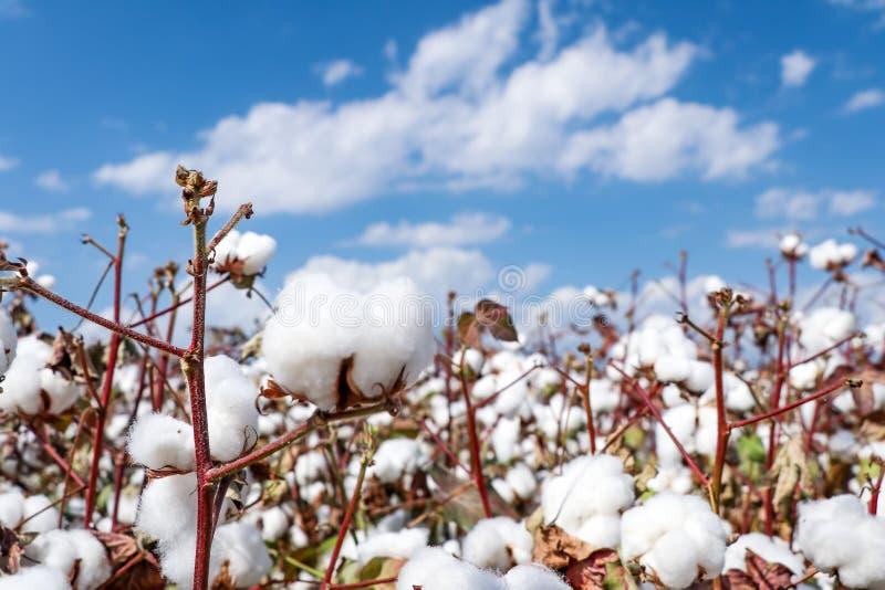 Agricultura do campo do algodão, colheita Turquia Izmir imagem de stock