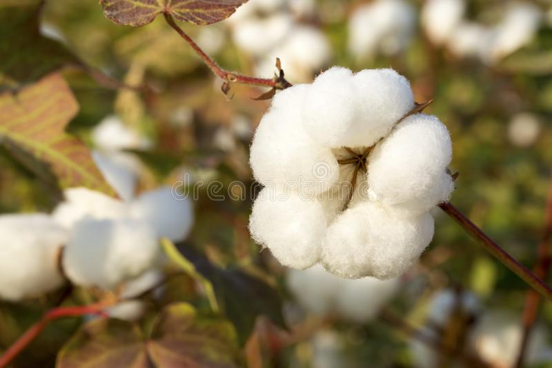 Agricultura do campo do algodão, colheita Turquia Izmir foto de stock