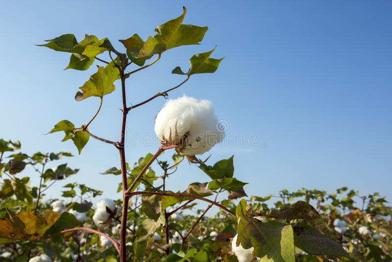 Agricultura do campo do algodão, colheita Turquia Izmir fotos de stock royalty free