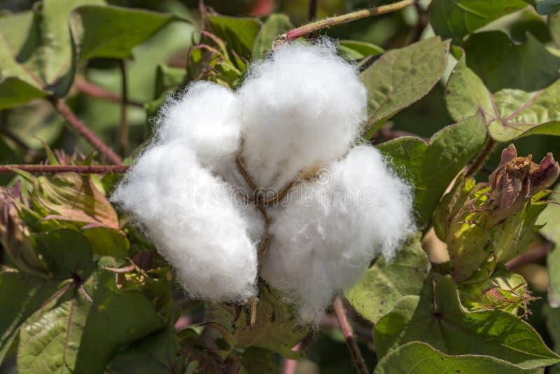 Agricultura do campo do algod?o, colheita Turquia Izmir foto de stock royalty free
