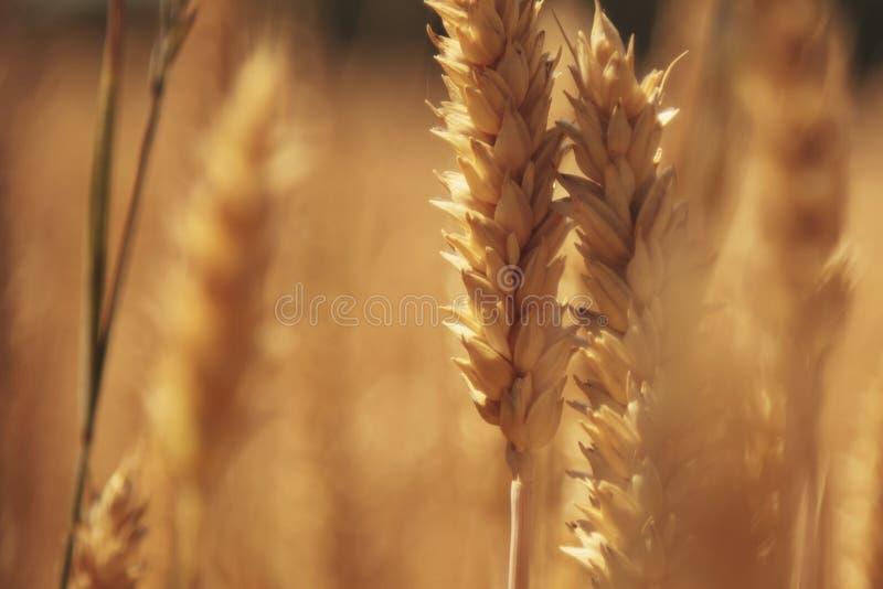 Agricultura do fundo do campo da cevada, agronomia, indústria fotografia de stock royalty free