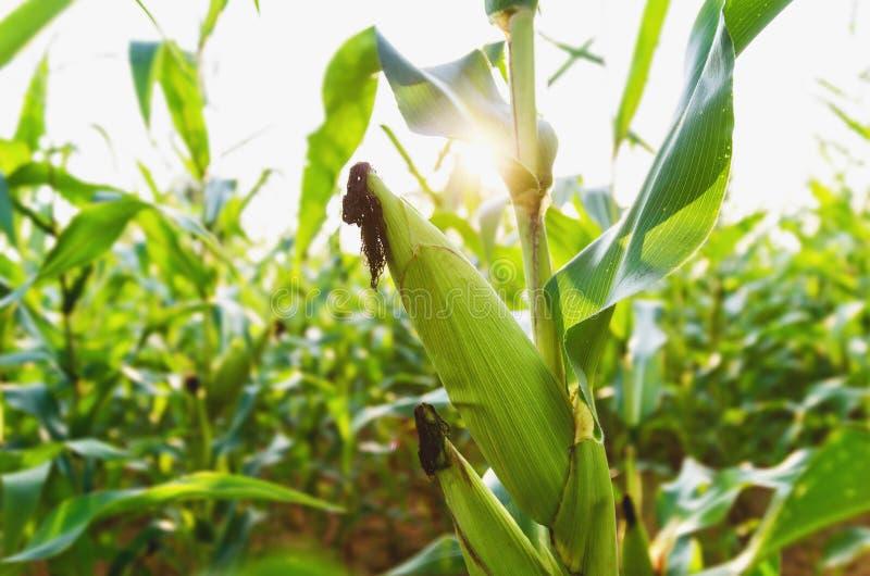 Agricultura do milho Natureza verde Campo rural na terra de exploração agrícola no summ imagens de stock
