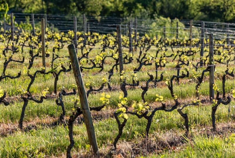 Agricultura dos vinhedos na mola Os polos de madeira com fio de metal esticado apoiam o vinhedo shrubs Foco seletivo imagens de stock royalty free