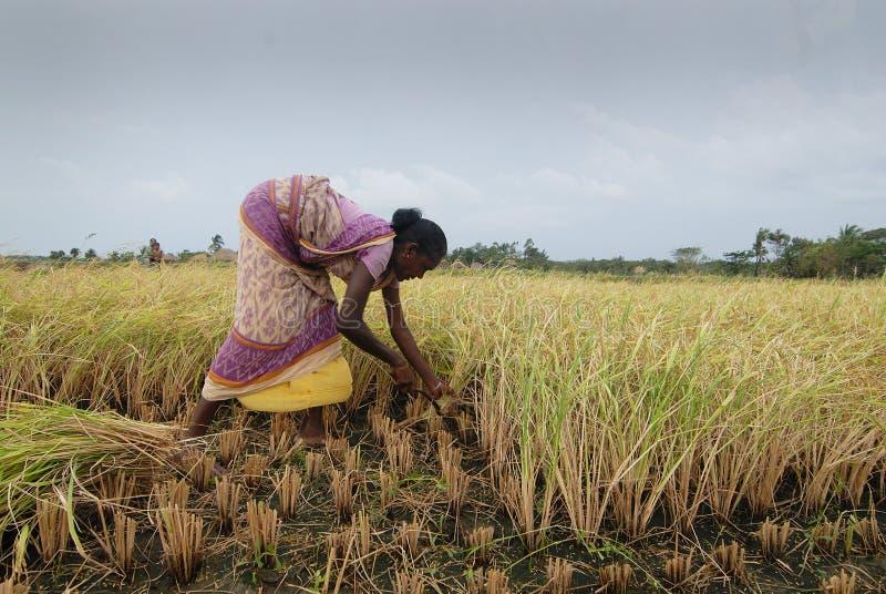 Agricultura em India foto de stock royalty free